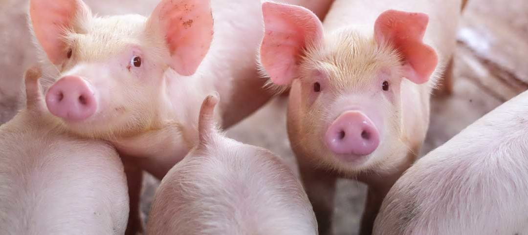 Healthy sows wean more piglets