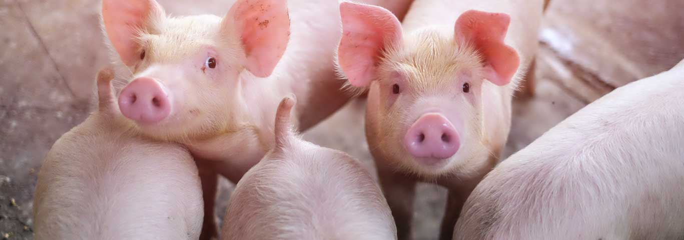 pigs gathered