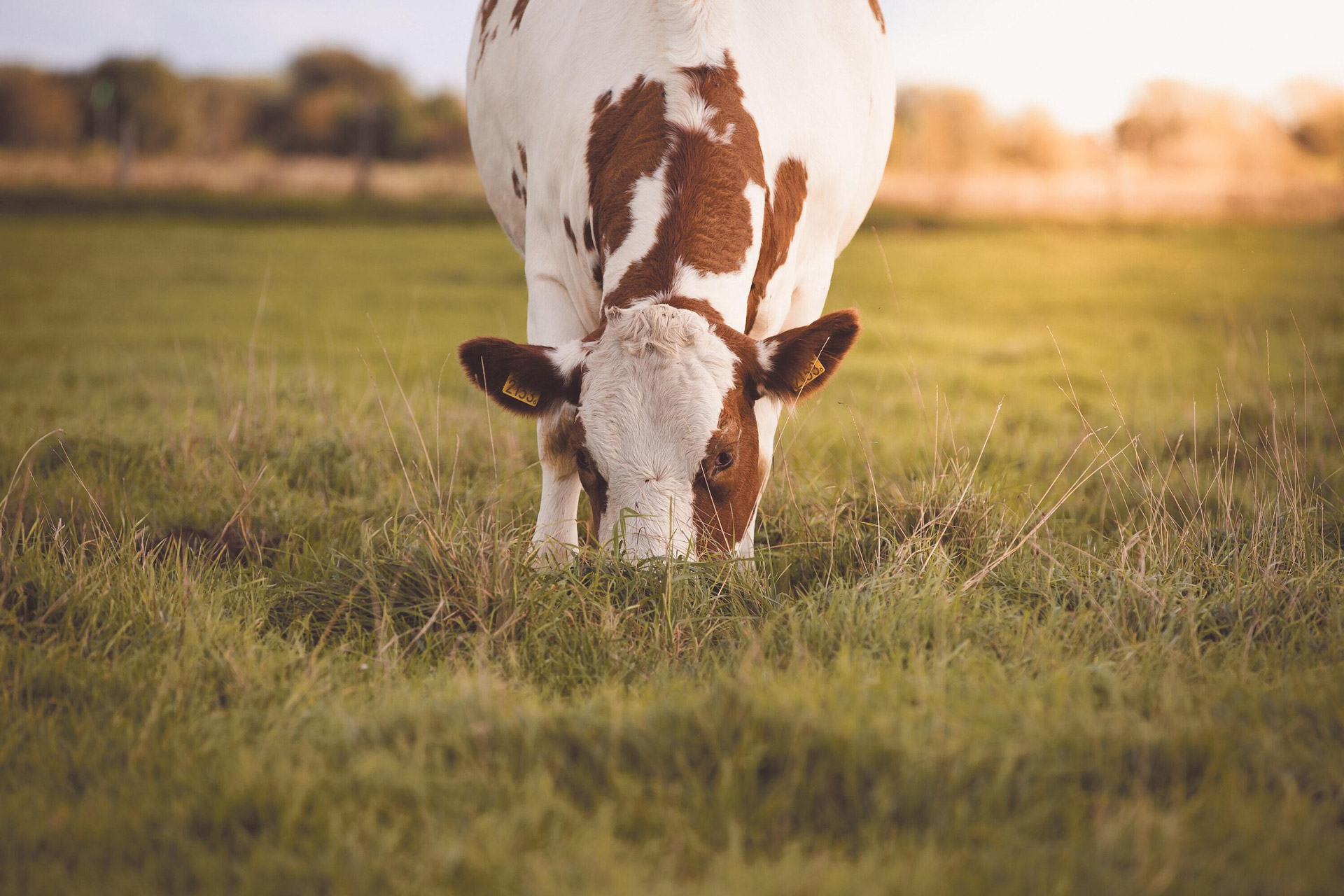 brown dairy cow grazing