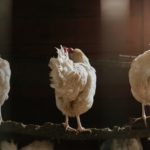 three white chickens