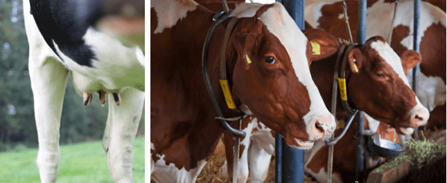 Trace minerals' role in dairy cow performance